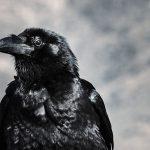 Raven girl bird